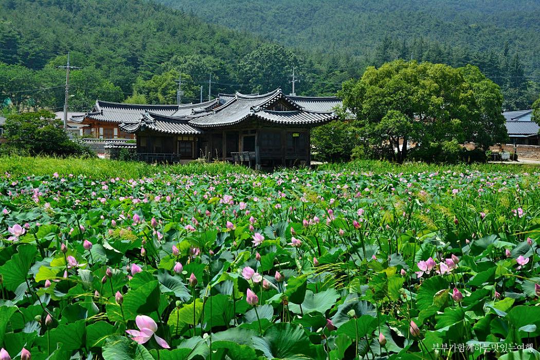 [경주여행] 고즈넉함과 함께 어우러진 연꽃, 경주 서출지 연꽃