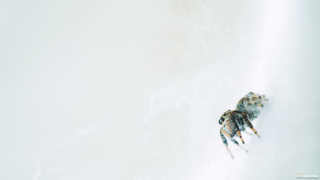 거미 Jumping spyder 배경화면 이미지