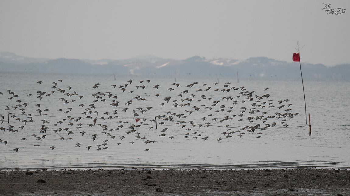 #147 천수만 도요새 군무