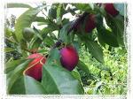 [자두수확] 새콤달콤 입맛 살려주는 제철과일 자두 수확