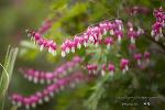 통도사 서운암의 금낭화와 꽃들