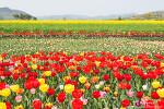 창녕 낙동강유채축제, 노란 유채꽃과 튤립의 화려한 축제가 시작!