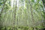 동화 속 아름다운 풍경이 눈 앞에, 속삭이는 자작나무 숲