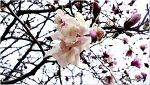 봄꽃사랑 별목련