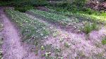 [농사일지] 농사짓기, 잡초와의 전쟁입니다/곰취 밭 풀매기/죽풍원의 농사일기