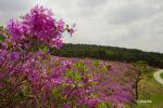 온통 진분홍꽃이 지천, 지리산 바래봉 철쭉축제