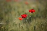 보리밭 양귀비꽃. 부천 상동호수공원