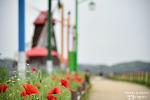 이리 오라 손짓하는 꽃양귀비의 유혹 함안 둑방길