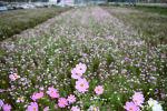 가을에 가득 물들다! 하동 북천 코스모스 메밀꽃 축제