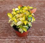 [야생화] 덤으로 얻은 황금마삭줄 한 포기 정원에 심다/황금마삭줄 꽃말은 '하얀 웃음'/죽풍원의 행복찾기프로젝트