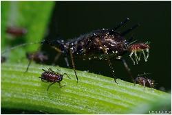진딧물의 출산