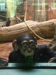 침팬지들을 위한 새로운 장난감