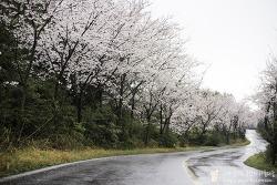 제주도의 숨겨진 벚꽃명소, 이번 주말 최고 절정