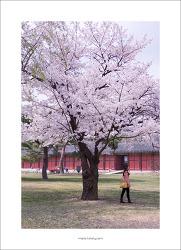 #04. 창경궁[昌慶宮]의 봄