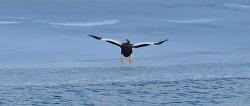 한강에서 만난 참수리  아쉬움에 슈퍼마이크로 크롭좀 했다. Steller's sea eagle #2+
