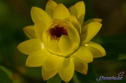 종이꽃(straw flower)