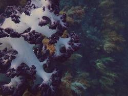 soft corals, jeju