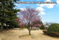유엔기념공원 홍매화, 때이른 1월에 찾아온 부산의 봄꽃 소식