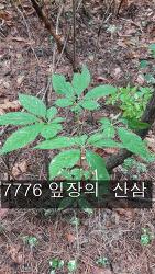 7776 잎장의 산삼 기록 사진