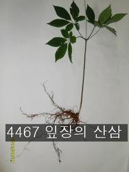 4467 잎장의 산삼 사진 기록