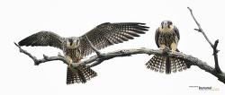 새홀리기 혹은 새호리기 #5 Eurasian hobby
