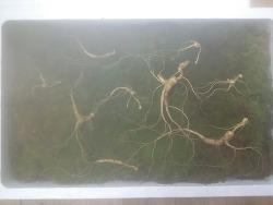 산삼 기록 사진 (산원초)