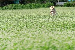 [봉평] 메밀꽃 축제