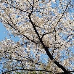 2018년 4월, 멀리 걸어 덕수궁 벚꽃 보는 날