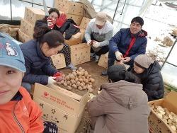 금산군 4-H 연합회(금산군 청년농업인 연합회) 감자 심기