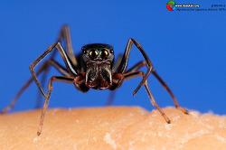 Extreme Macro 불개미거미 ♀ Myrmarachne japonica (Karsch 1879)