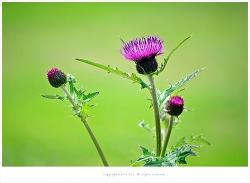[5-8월 자주색야생화] 엉겅퀴(가시나물.계향초.야홍화.우구자.산우방) 이야기