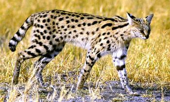 아프리카 초원의 모델 : 서발고양이