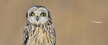 귀여운 어느 쇠부엉이의 표정 Short-eared Owl