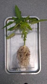 파파야(PAPAYA) 수경재배