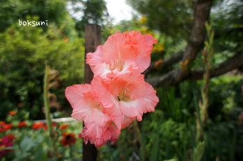 황토방 여름꽃 세번째 - 글라디올러스 ^^
