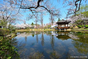 우리나라 최대의 벚꽃 라이벌 경주와 진해의 매력충만 벚꽃명소