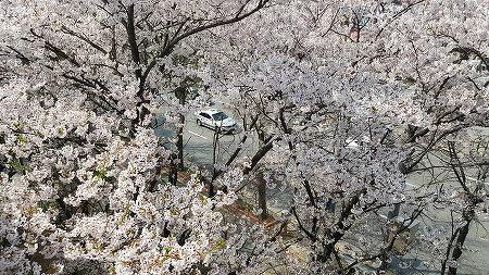 봄비 내린 후 만개한 벚꽃