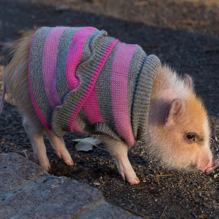 [소식] 돼지도 반려동물이 될 수 있다.