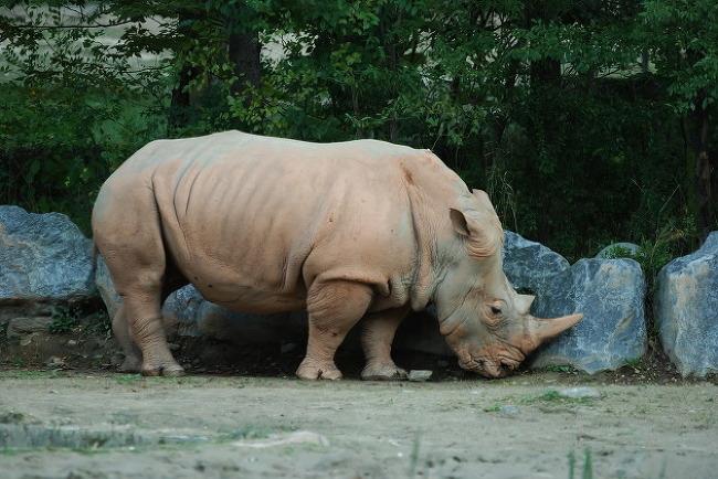서울대공원 - 흰코뿔소
