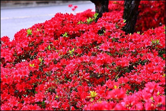 영산홍 꽃길을 보다-대구 신천 하수 처리장