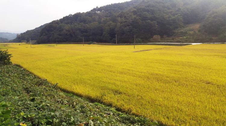 [포토에세이] 깊은 계곡에 황금빛 물결을 이루는 들녘 풍경