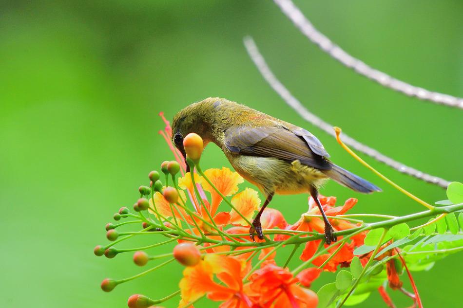 Van Hasselt's Sunbird
