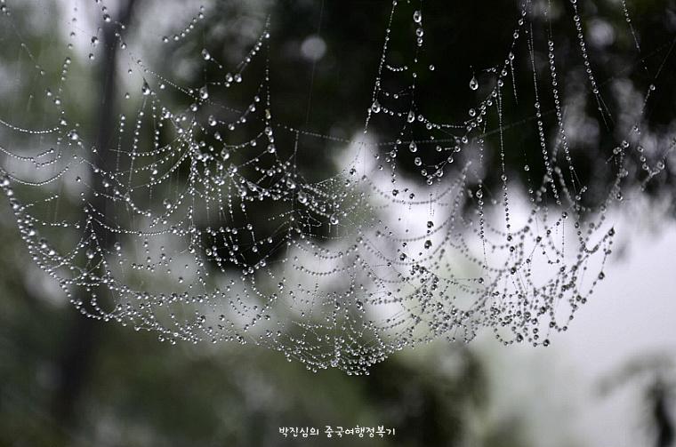 ▲ 이슬비에 거미줄이 젖어 송알송알 물방울이 맺혀있다.