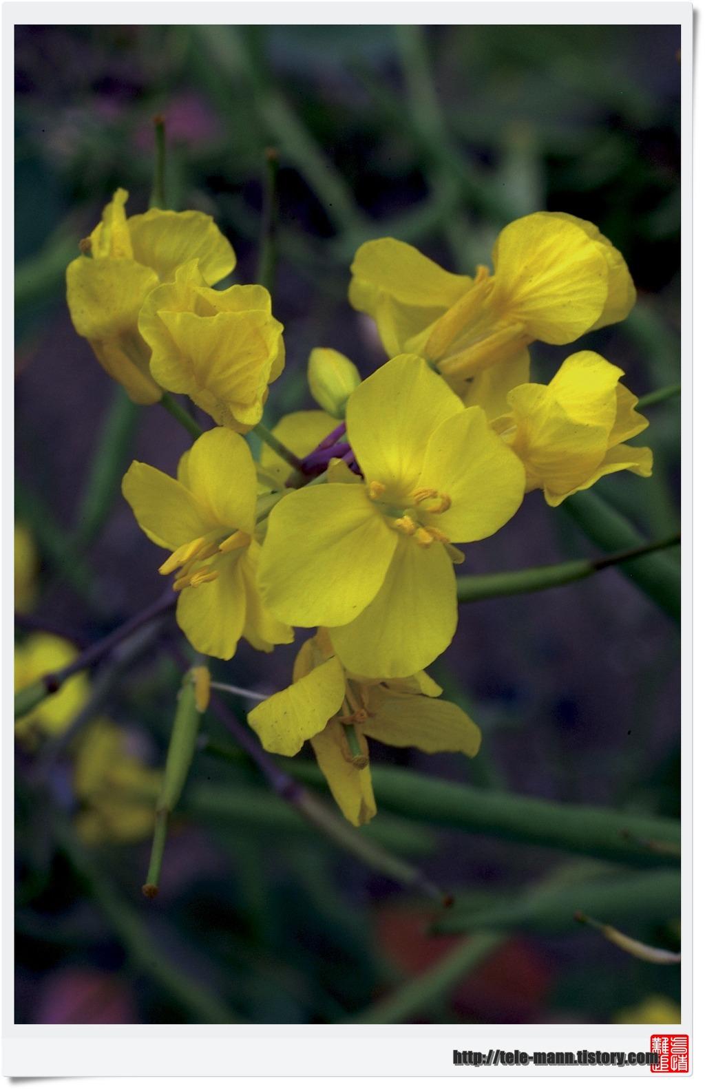20120512 - 유채꽃