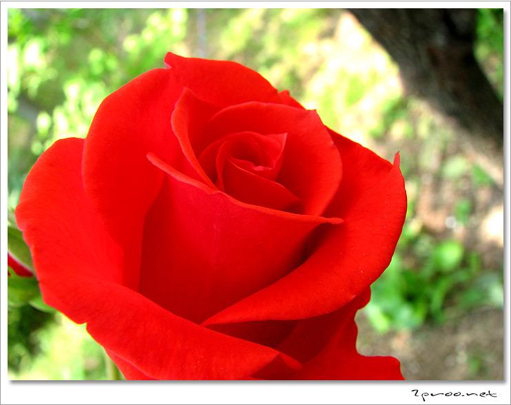 예쁜 장미꽃 사진