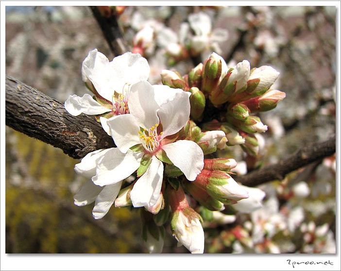 벚꽃 축제, 벚꽃 사진