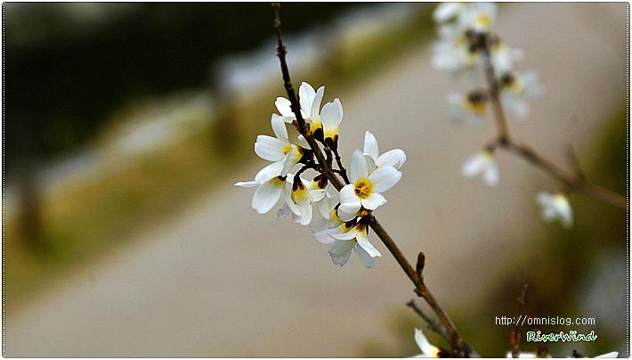 봄꽃사랑-미선나무(尾扇木) 꽃/OmnisLog