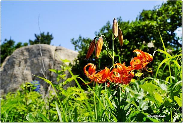 참나리 꽃