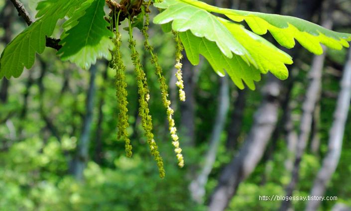 떡갈나무 꽃 Quercus dentata