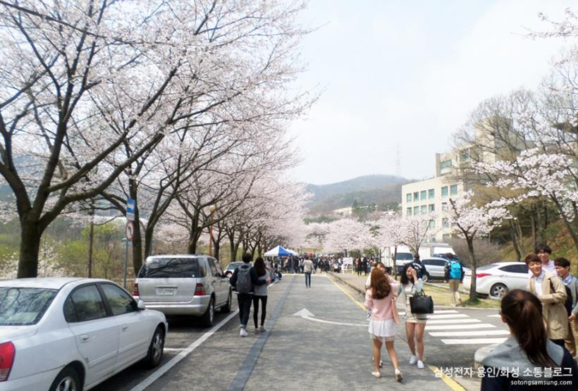 명지대학교벚꽃축제